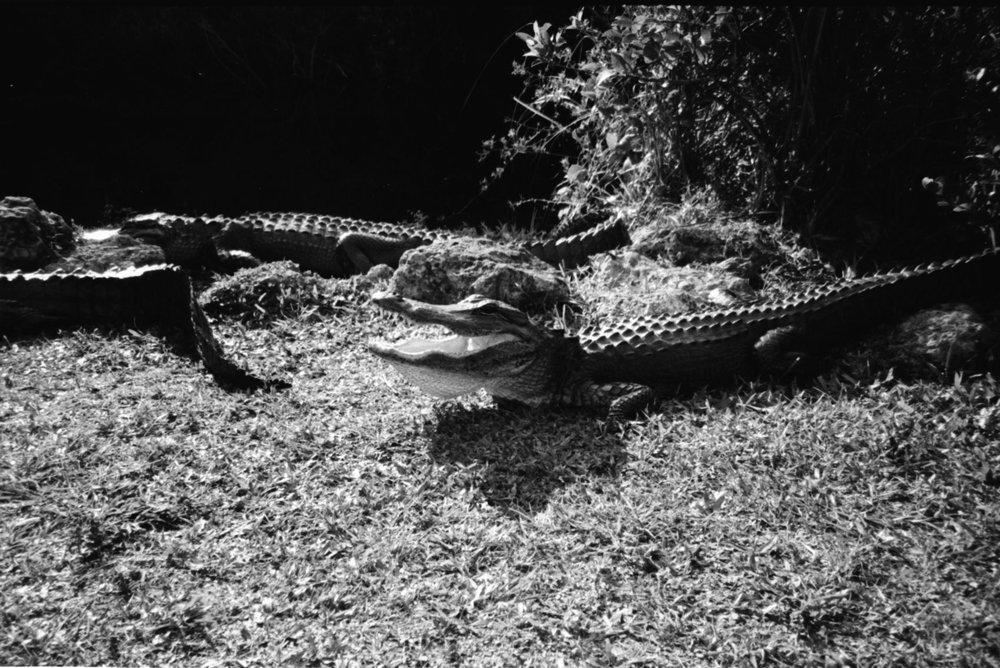 gator-4.jpg