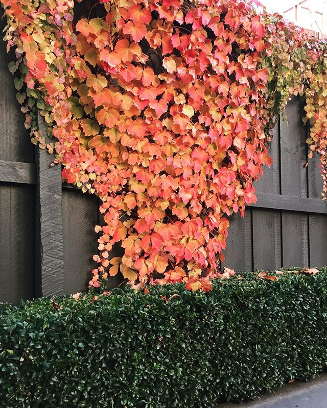 This Boston ivy we planted is a great fence cover on a narrow driveway. It's seasonal colours are magnificent. 🍁🍂