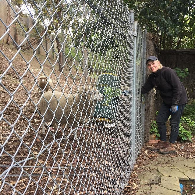 Feeding the sheep at our new Kew job, all part of the full range of services provided @lucidalandscapes, apparently owned by Vicroads to keep the grass under control on a steep slope next to the freeway. Time for a shear Vicroads! #melbournelandscaping #constructionandmaintenance