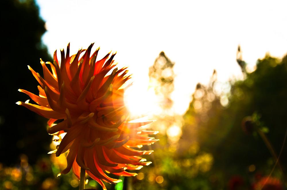 Dahlia Garden, Manito Park, Spokane WA