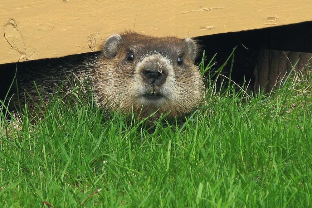 Gilles Gonthier, 'Marmotte- Groundhog' 2012