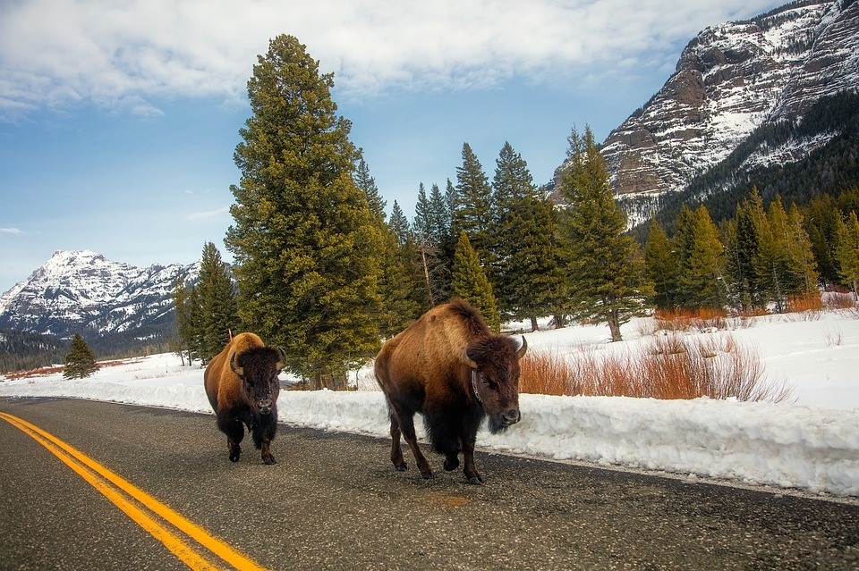 Bison picture.jpg