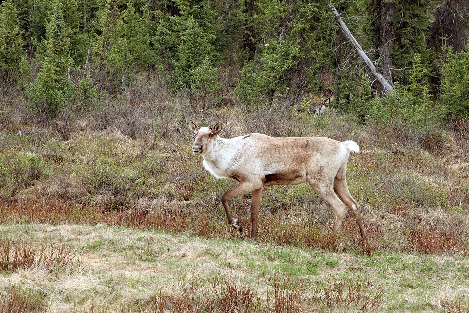 caribou picture.jpg