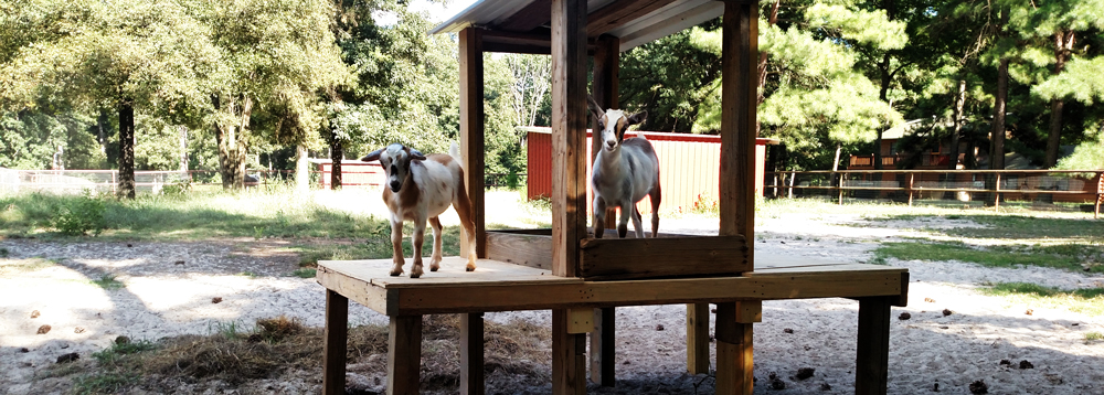 Deer Lake Ranch Resort Goats.jpg