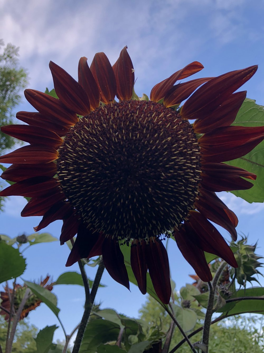One of the dozen plus red sunflowers that all grow on the same plant! I'd never seen so many flower heads on the same stalk until this year!