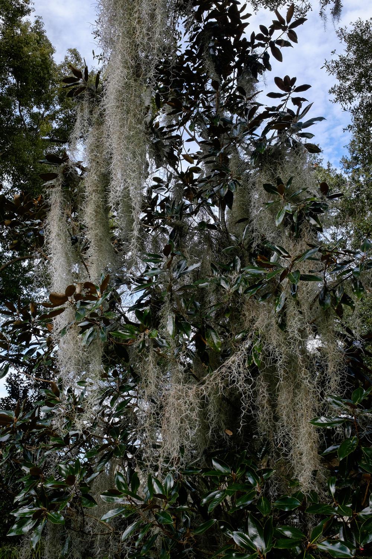 Spanish Moss in Orlando