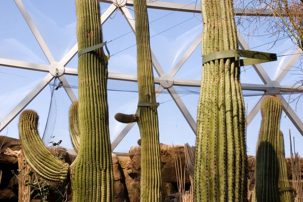 Tethered Saguaros and Netted Magpies, Desert Dome