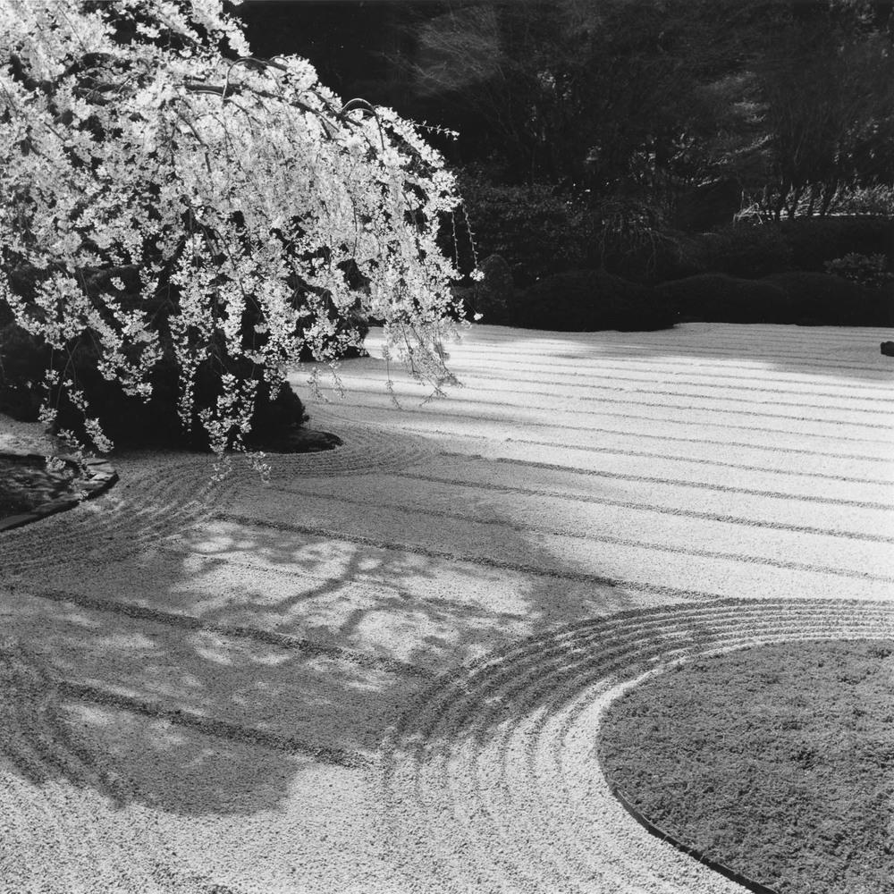 Cherry Blossoms, Japanese Garden, Portland
