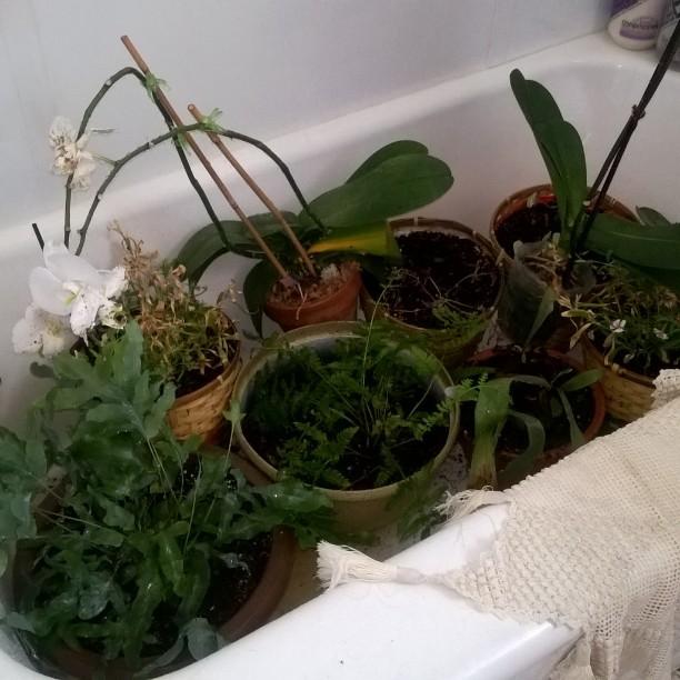 #bathtime #ferns #orchids #volcanoplant #nasturtium #happyplants #thirsty #toohottomakejewelry