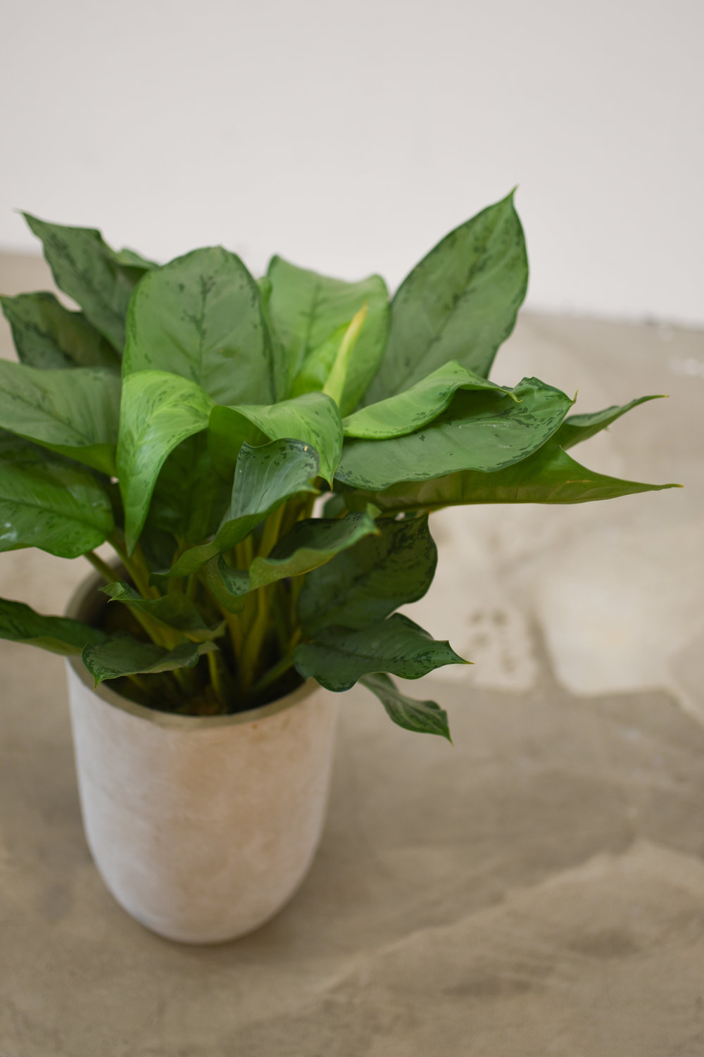 A closeup of the Chinese evergreen in our bullet vase