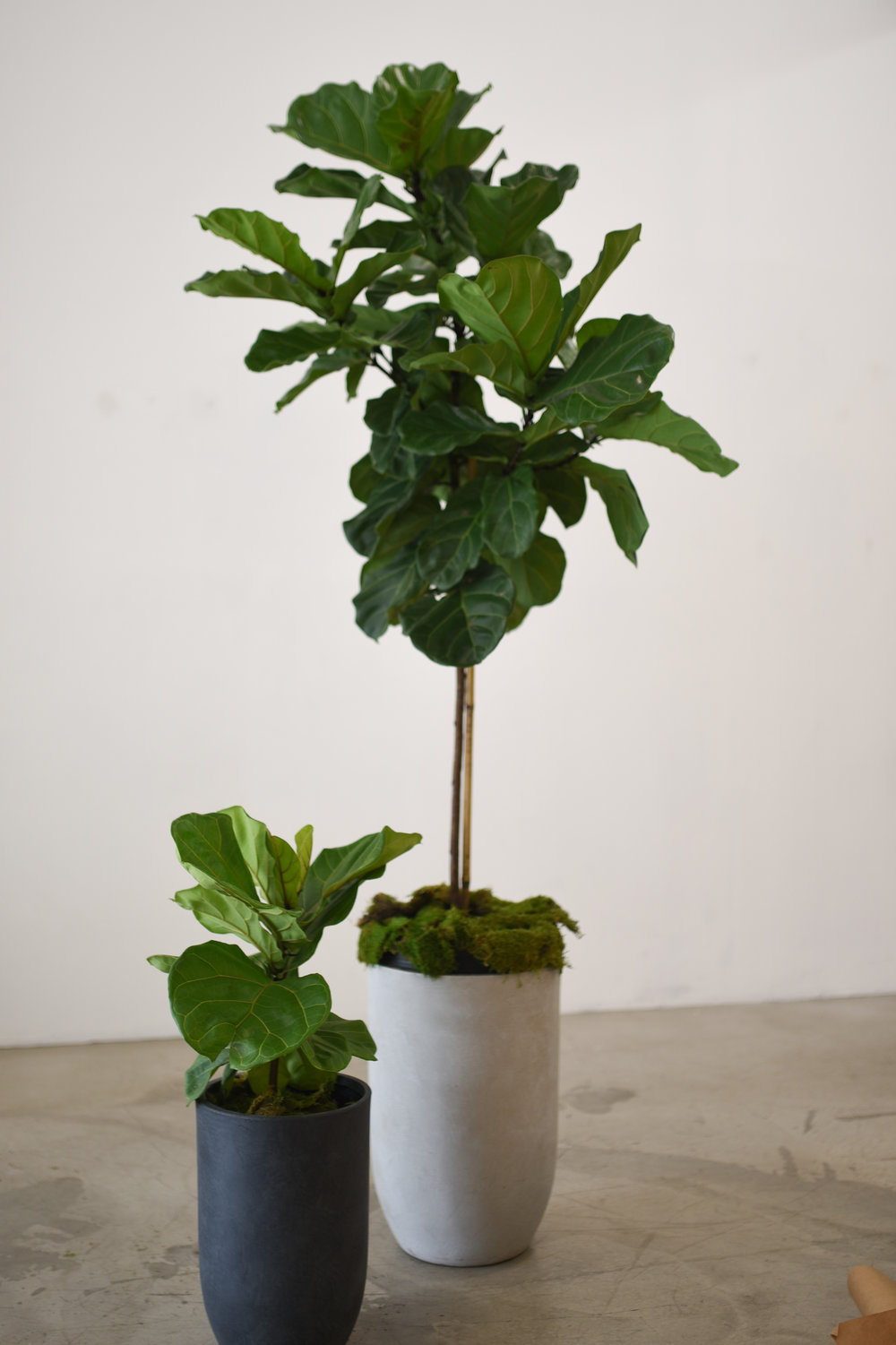 A big and little ficus lyrata