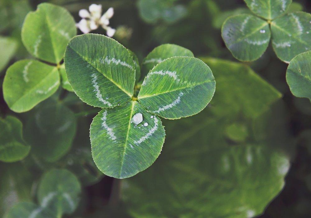 clover-2329822_1920.jpg