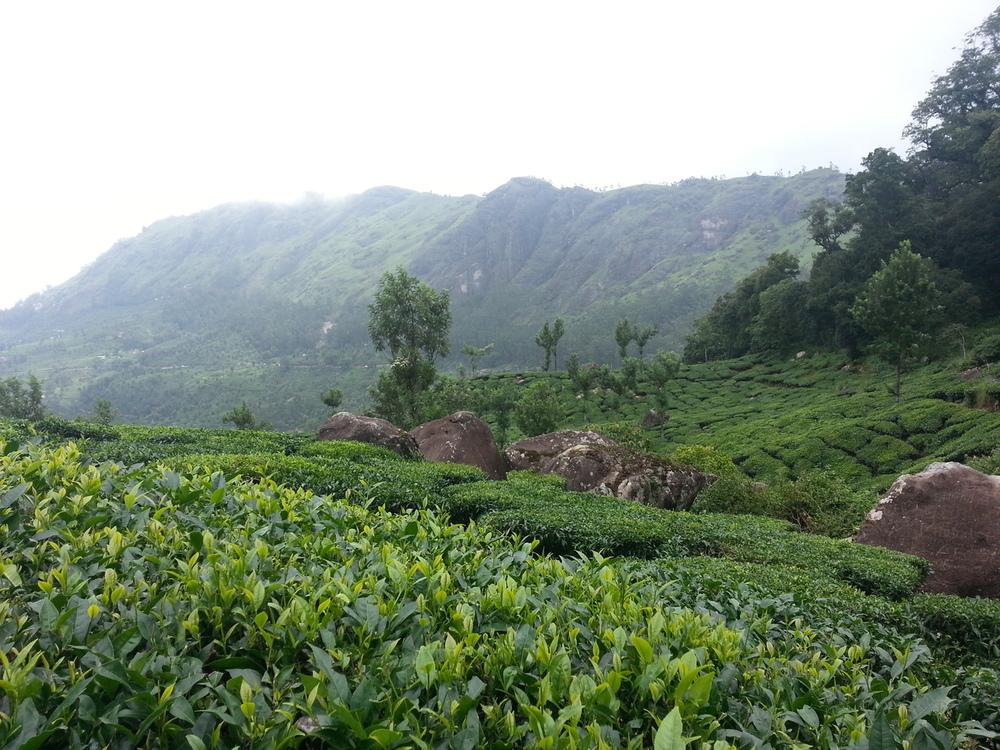 Munnar Tea Plantations (Image Source)