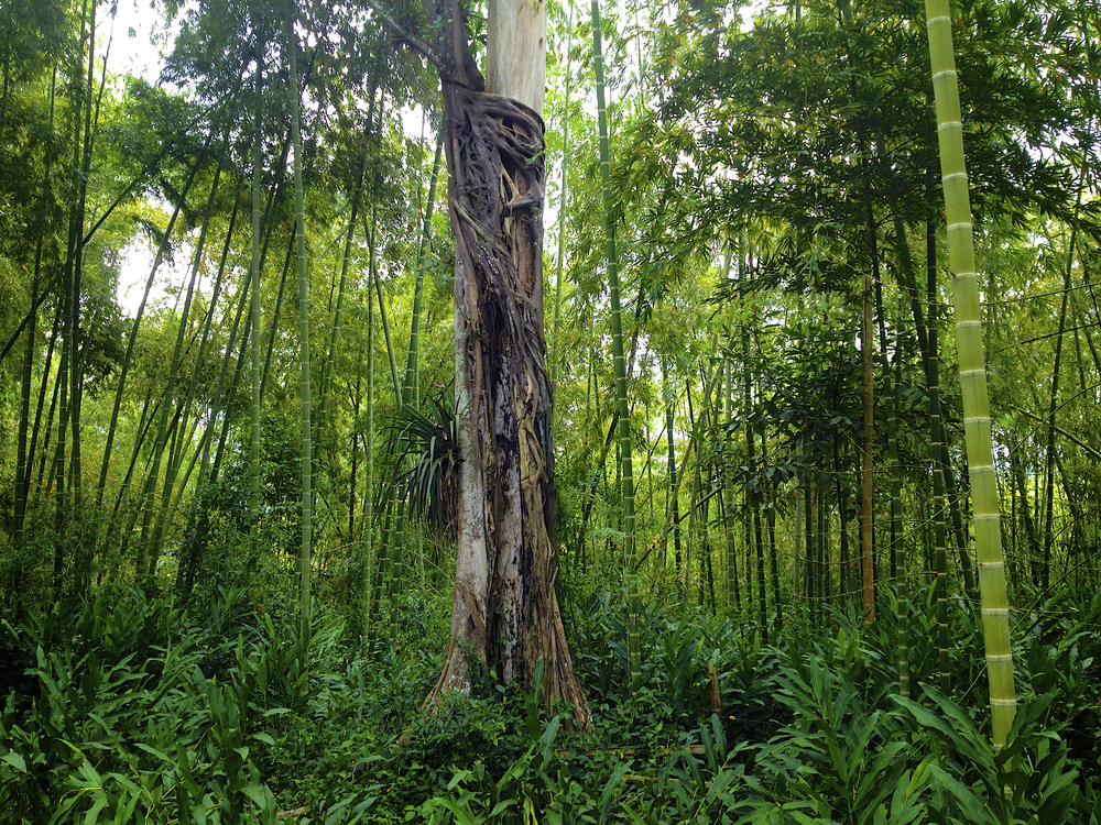 Beautiful Scenery at Gaia's Bamboo Forest