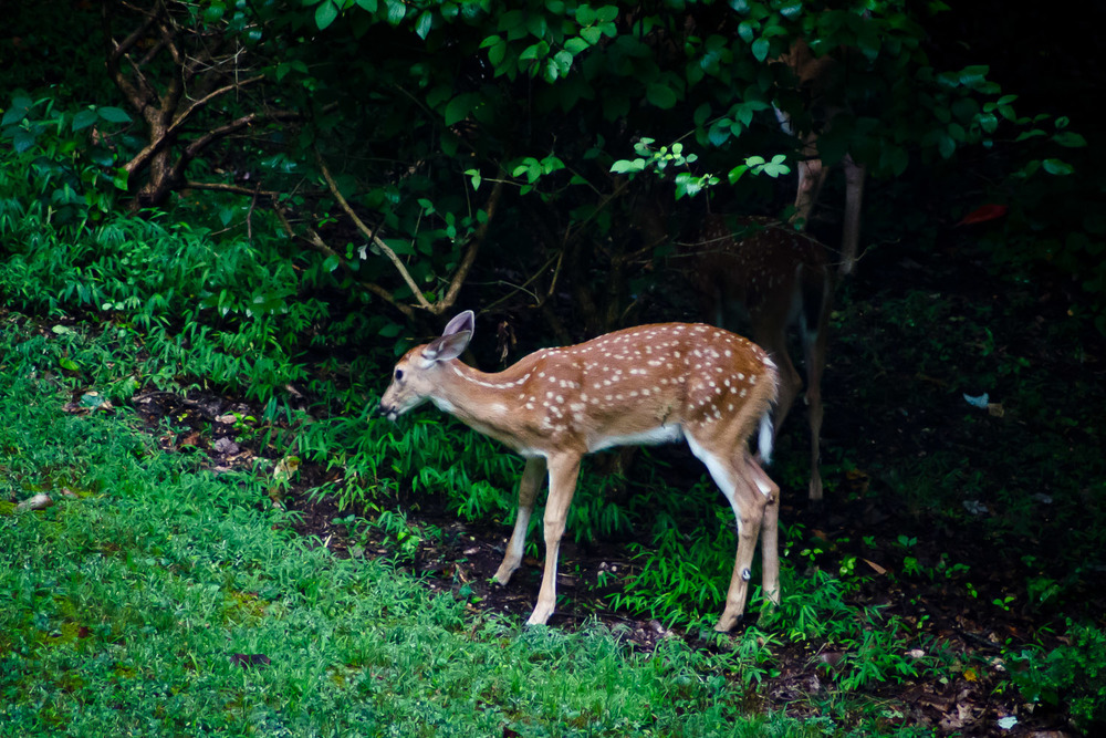 Fawn at Edge of Woods