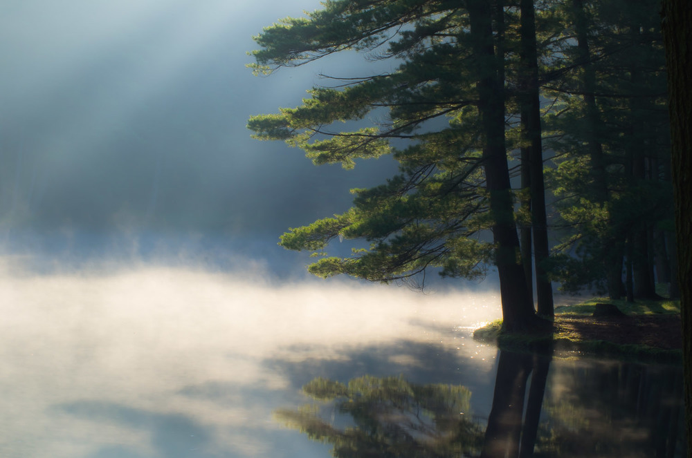 Pine in Morning Mist