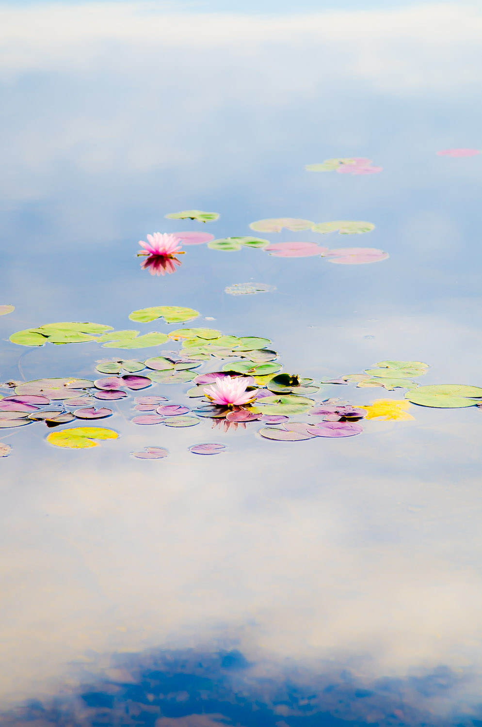 Water Lilies on Clouds