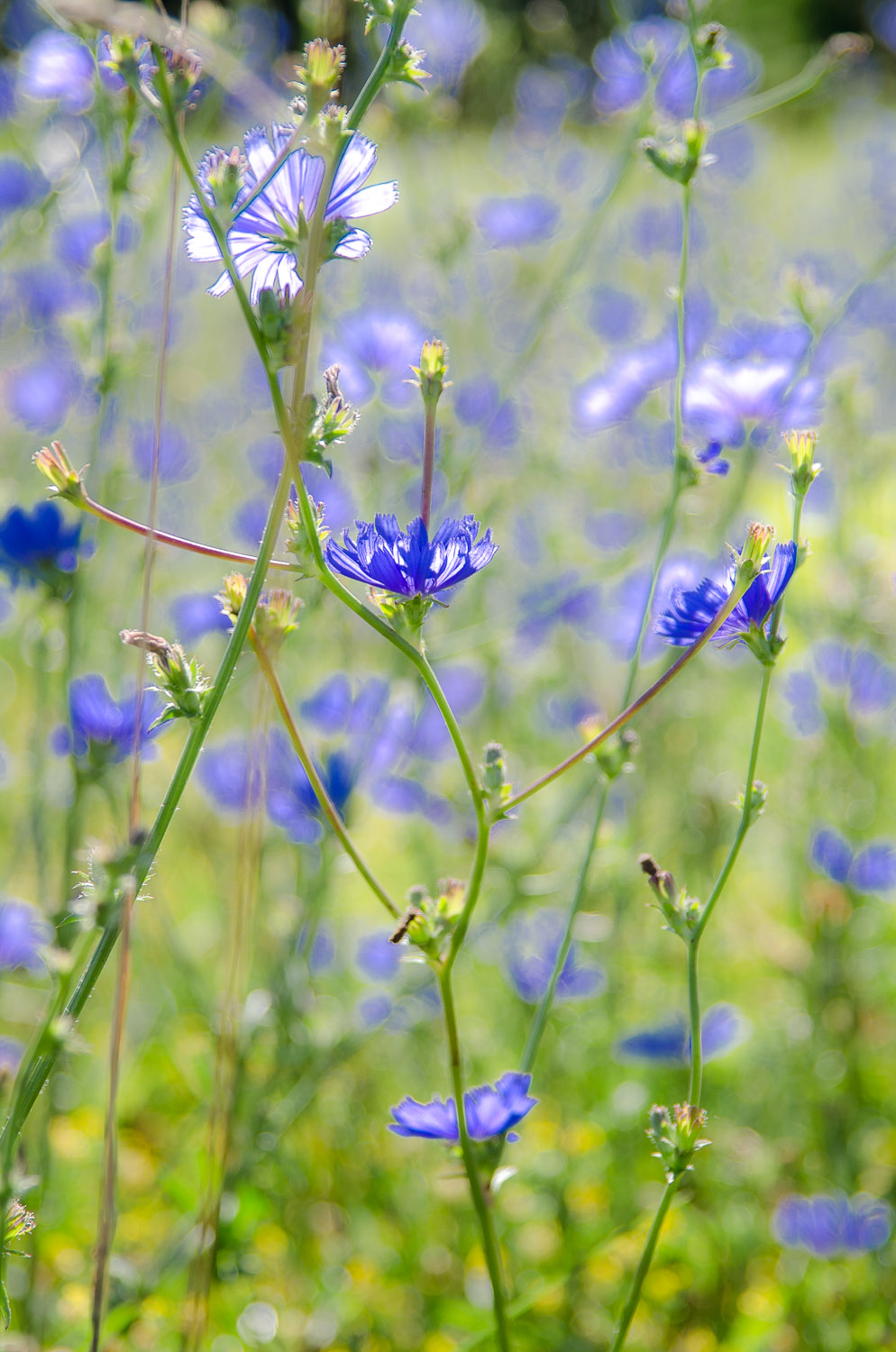 Wildflowers (Chicory)