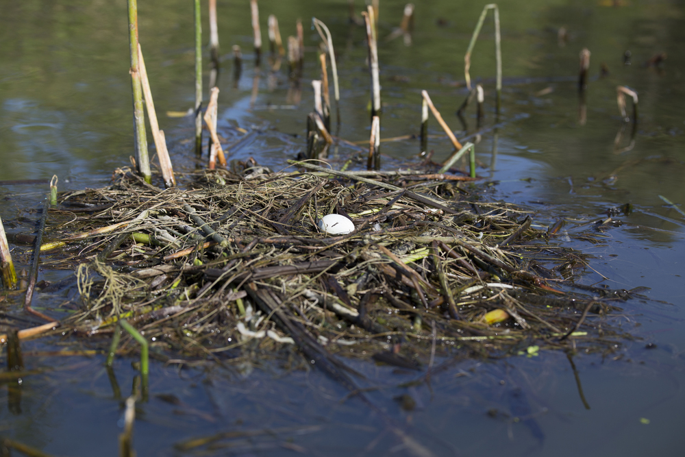Grebe nest                                       image courtesy of Cathy Buse