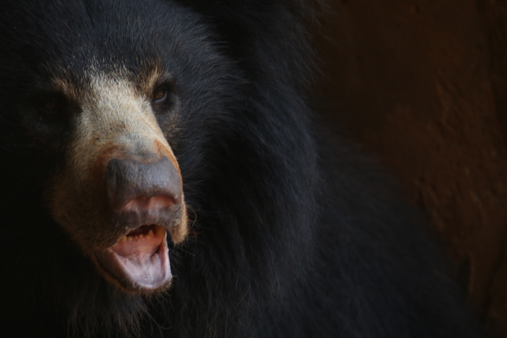 India Sloth Bear LL6A0044.JPG