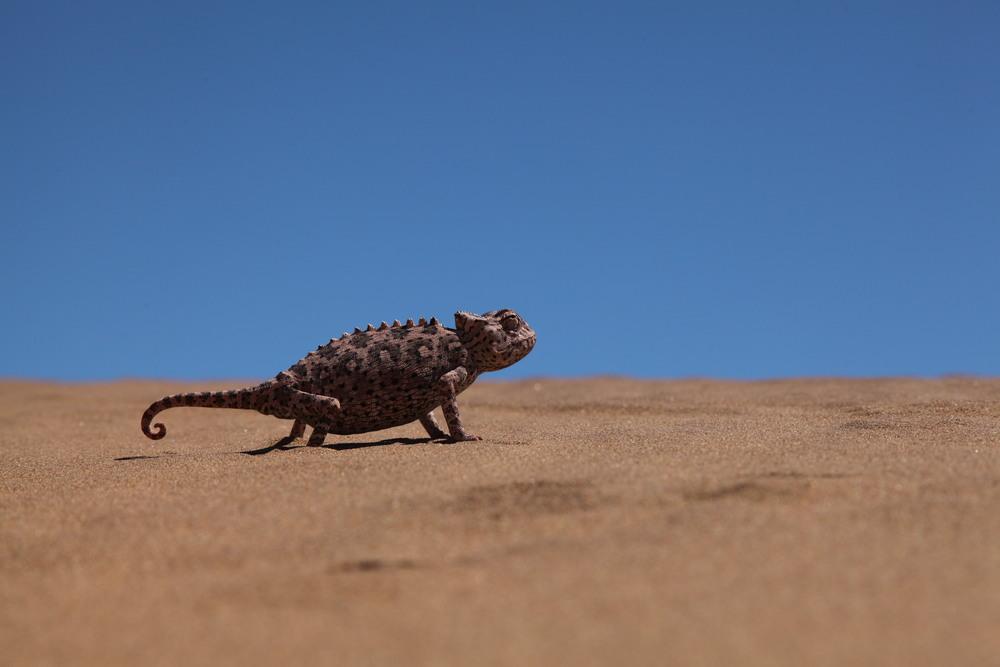 namaqua chameleon1.JPG