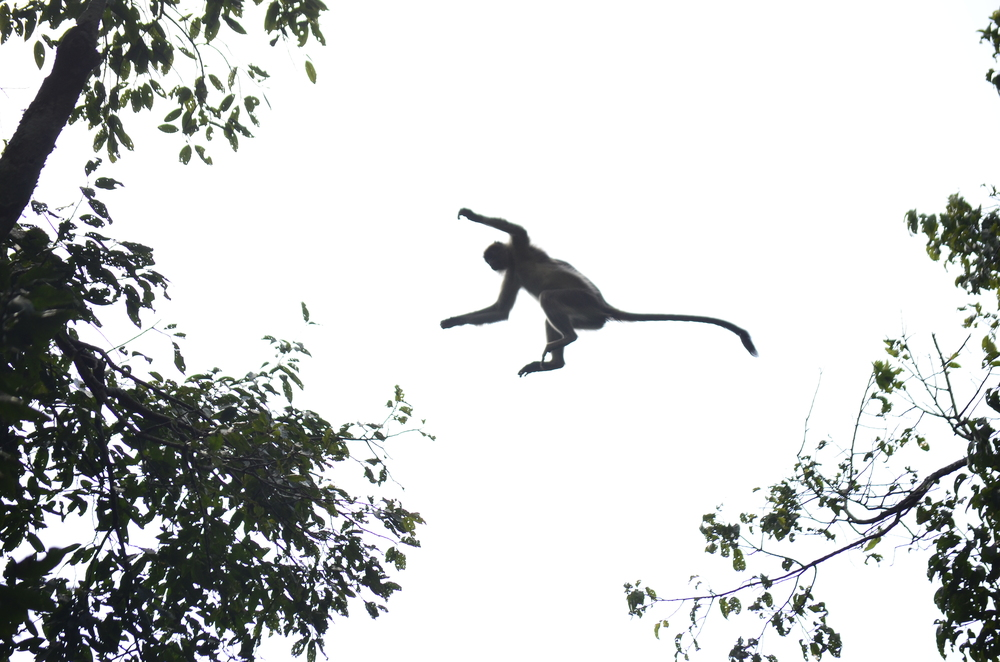 Red Colobus leap _Uganda.JPG