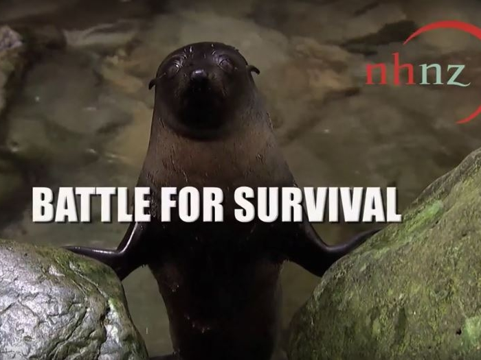 fur_seals_battle_for_survival.JPG