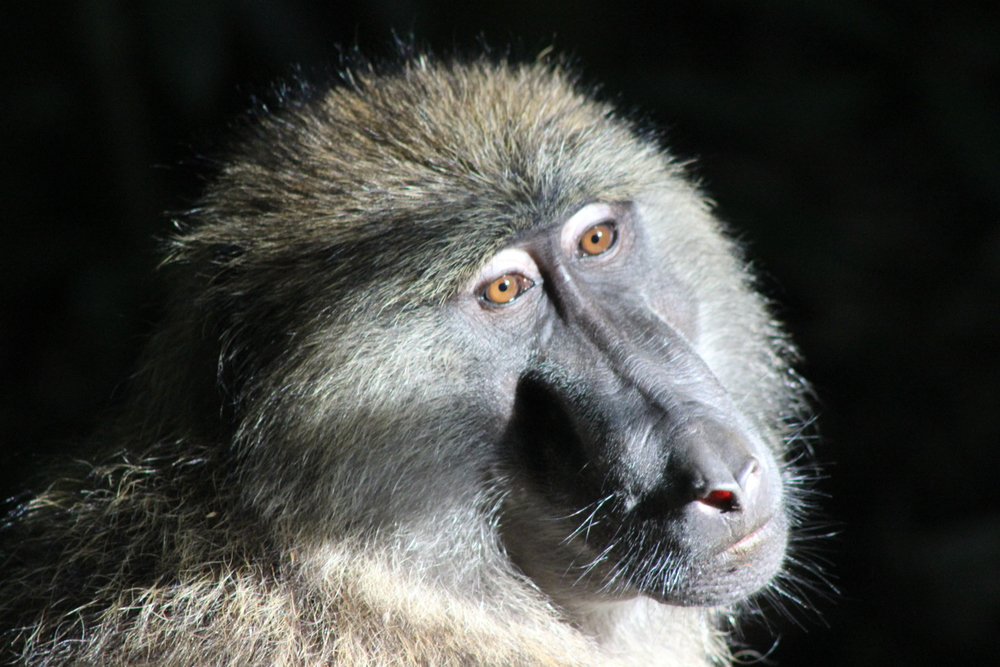 Olive Baboon (Papio anubis). Photo by C. Johnson