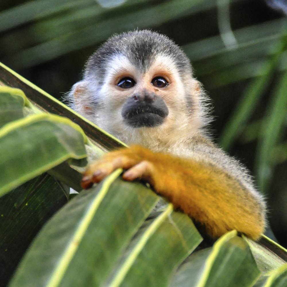 AnimalSquirrelMonkeyImage.jpg