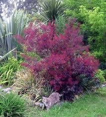 Smokebush plant