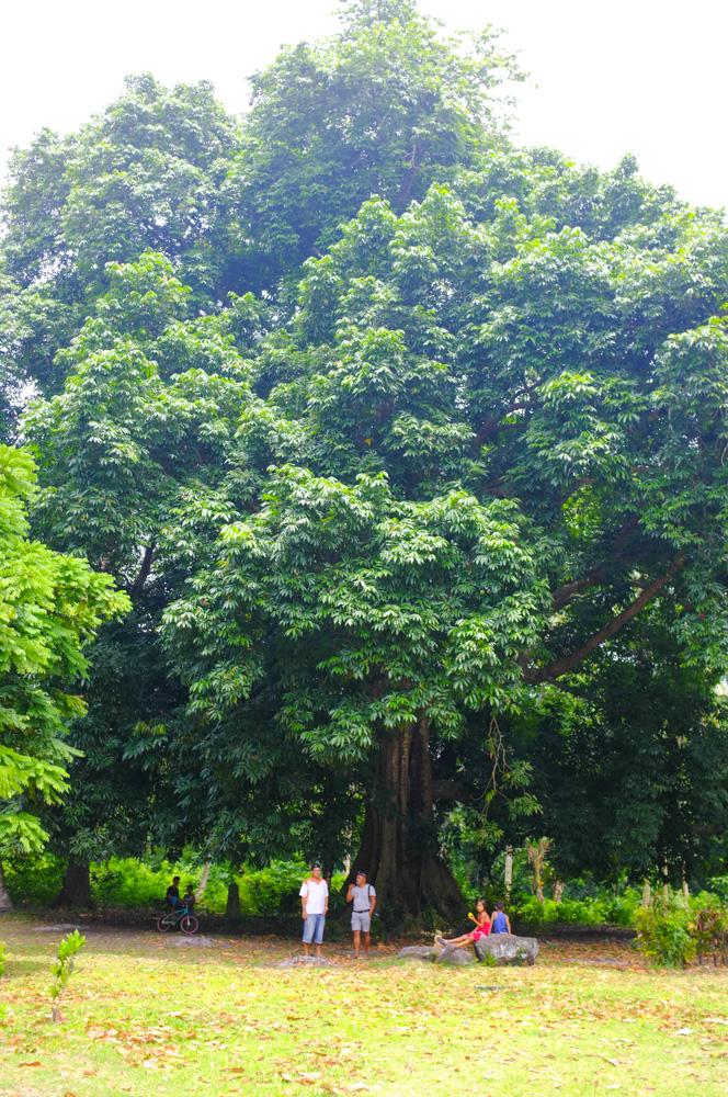 Centenial tree / Mambajao
