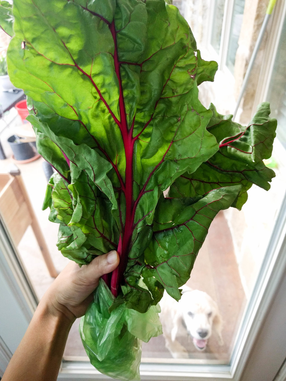 Swiss Chard 1 BLOG.jpg