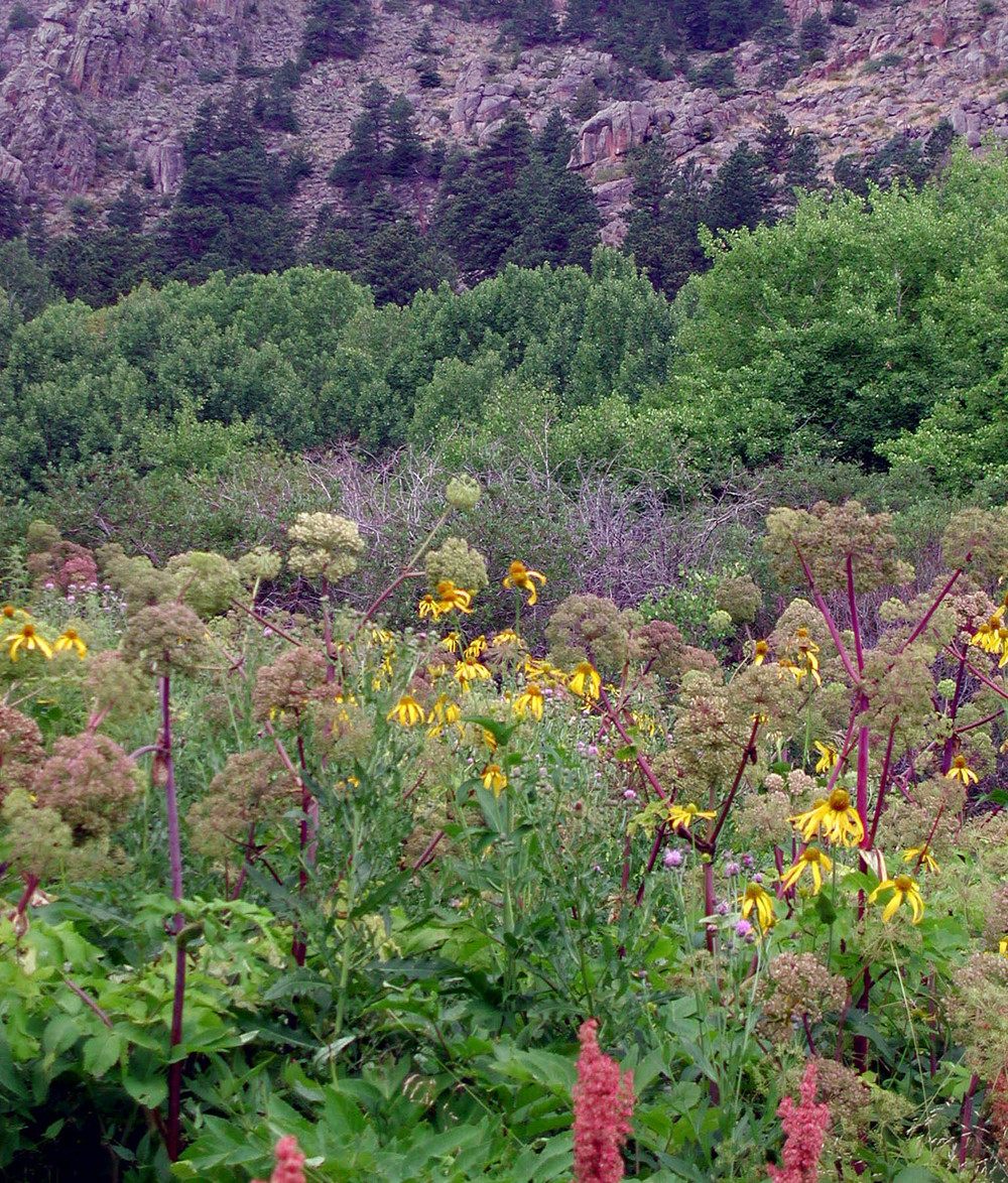 riparian meadow flowers*.jpg