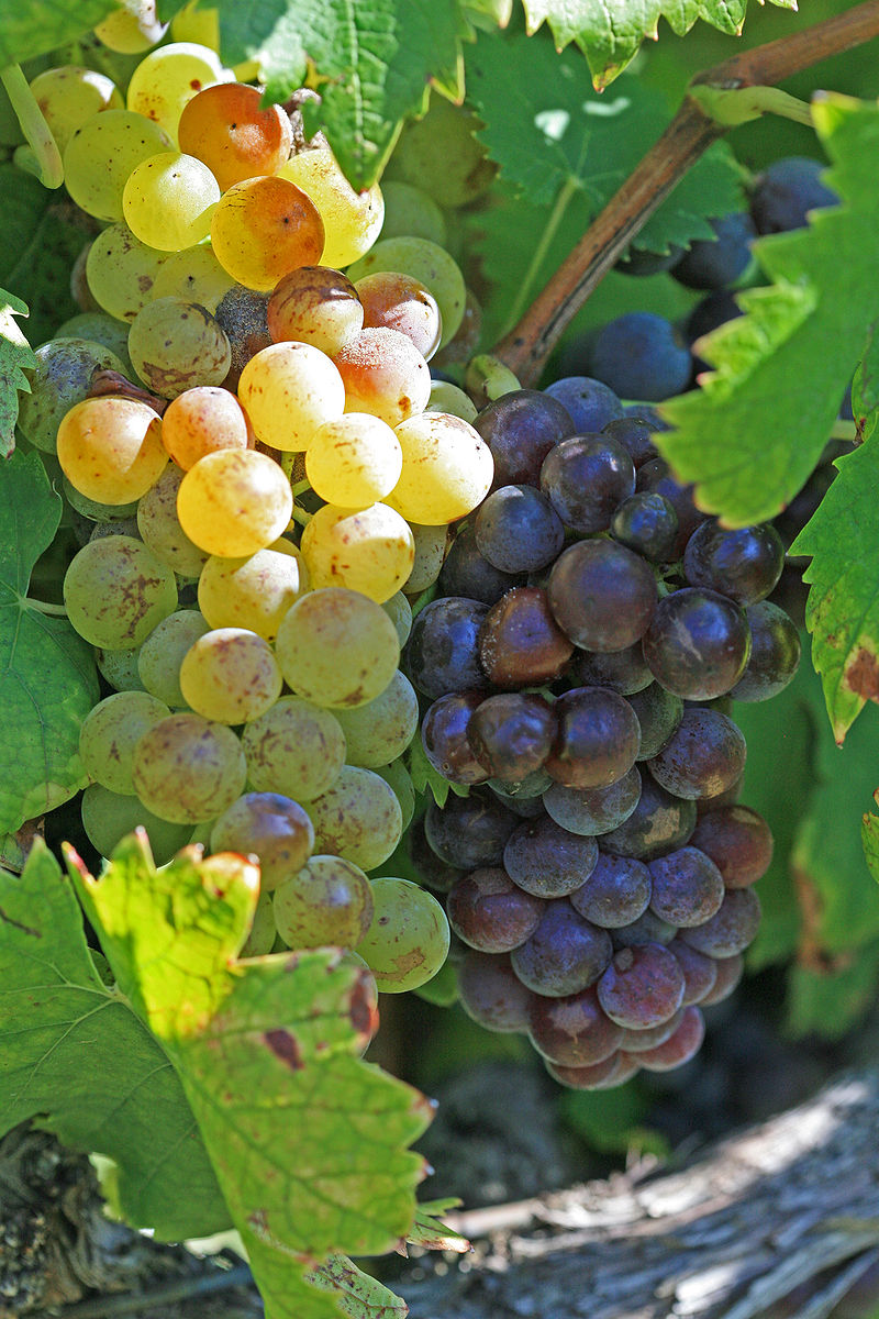 The Muscat grape family inlcudes white (green), red and pink-skinned versions, hence the wide variety of colors found in wine. Often, the color comes from added coloring in the cheaper wines. From wikipedia.
