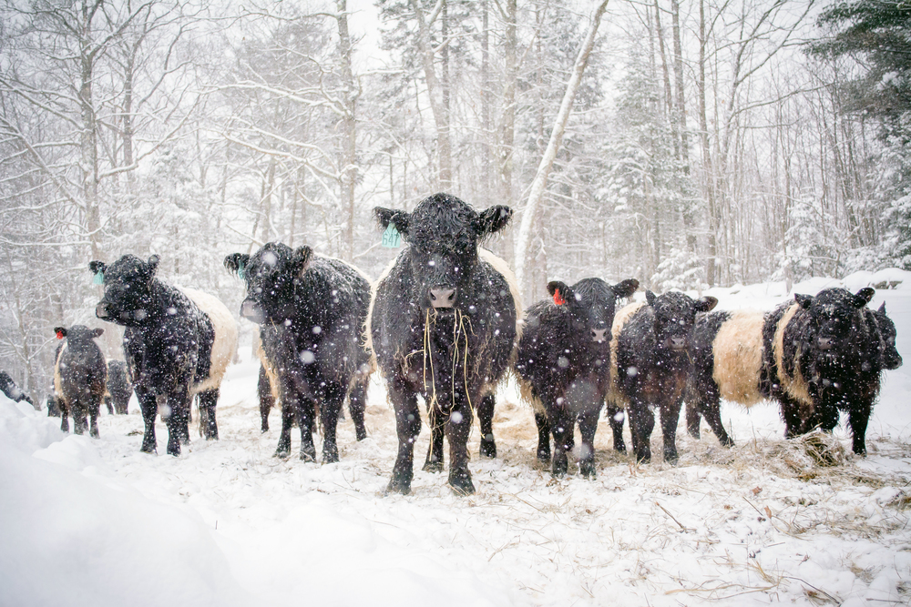#3 - belties in snow