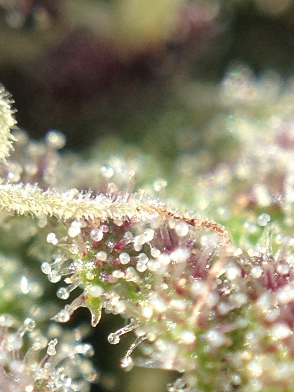 Trichomes displaying burgundy colors of maturity signal their readiness for consumption.