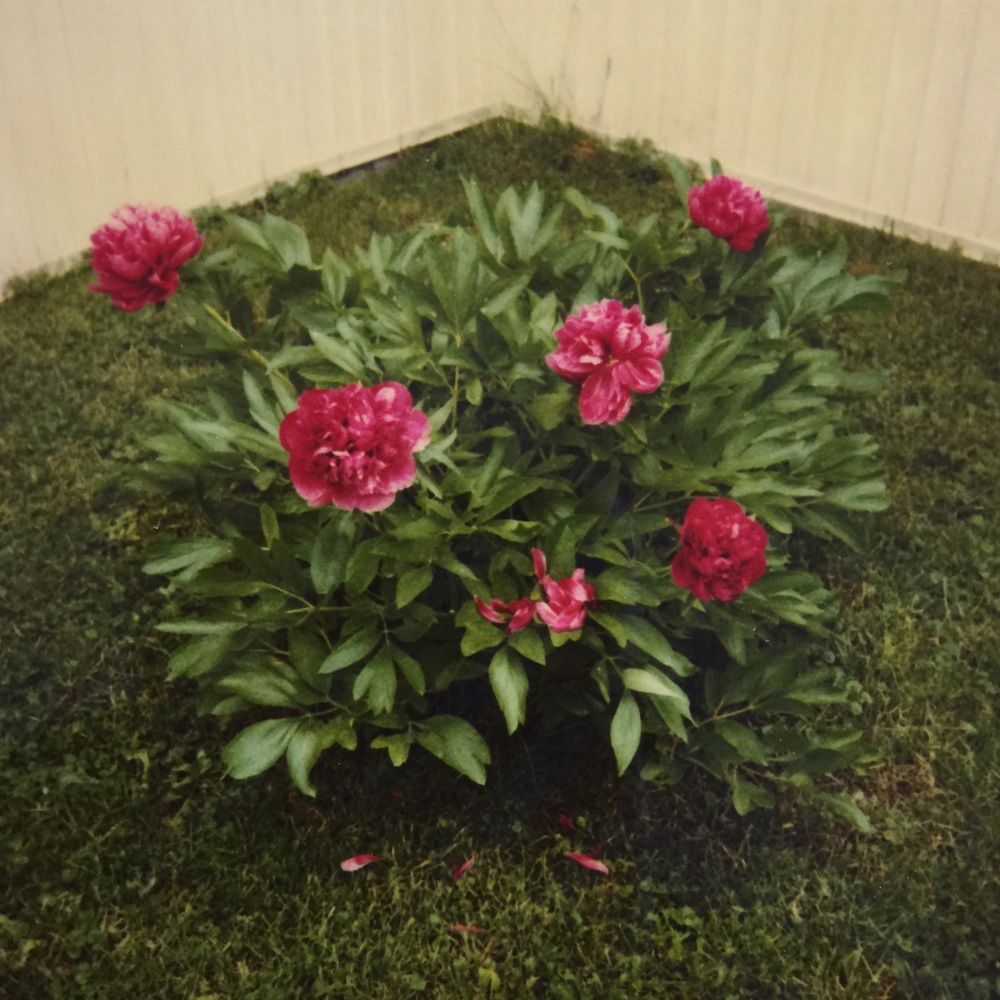 Momaw's Peony, by Stacey Woods