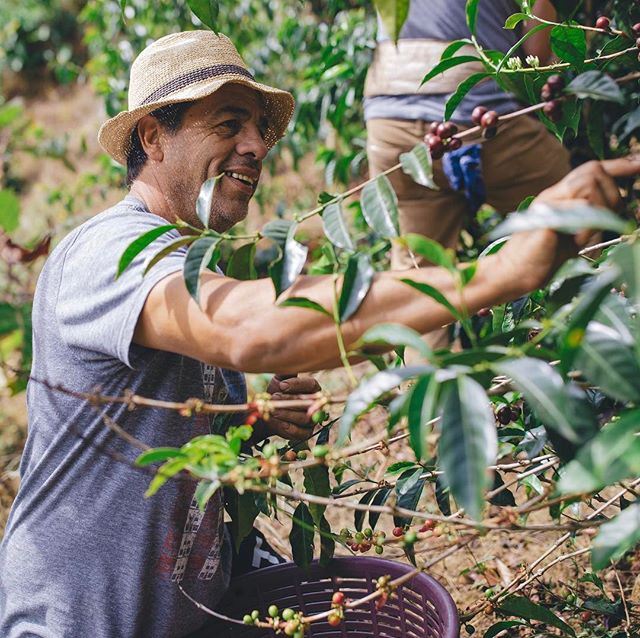 Carlos picking the very last few high elevation trees. Tomorrow we will journey with him and Jose to Panama. . . . #costarica @carlos_monterocamacho_ @donelicoffee #tarrazu #gofundme #fortheloveofcoffee #coffee #coffeefarm #coffeelove #getmycoffee #pick #mountain