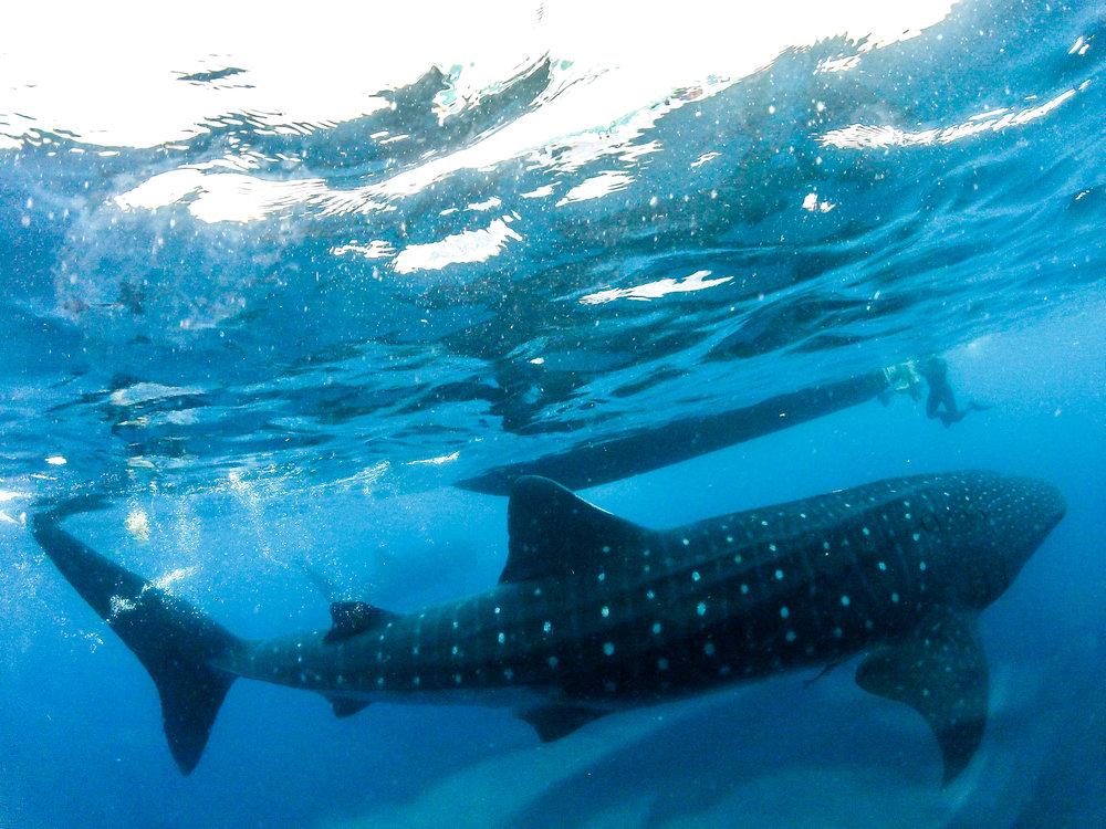 whale.shark6.jpg