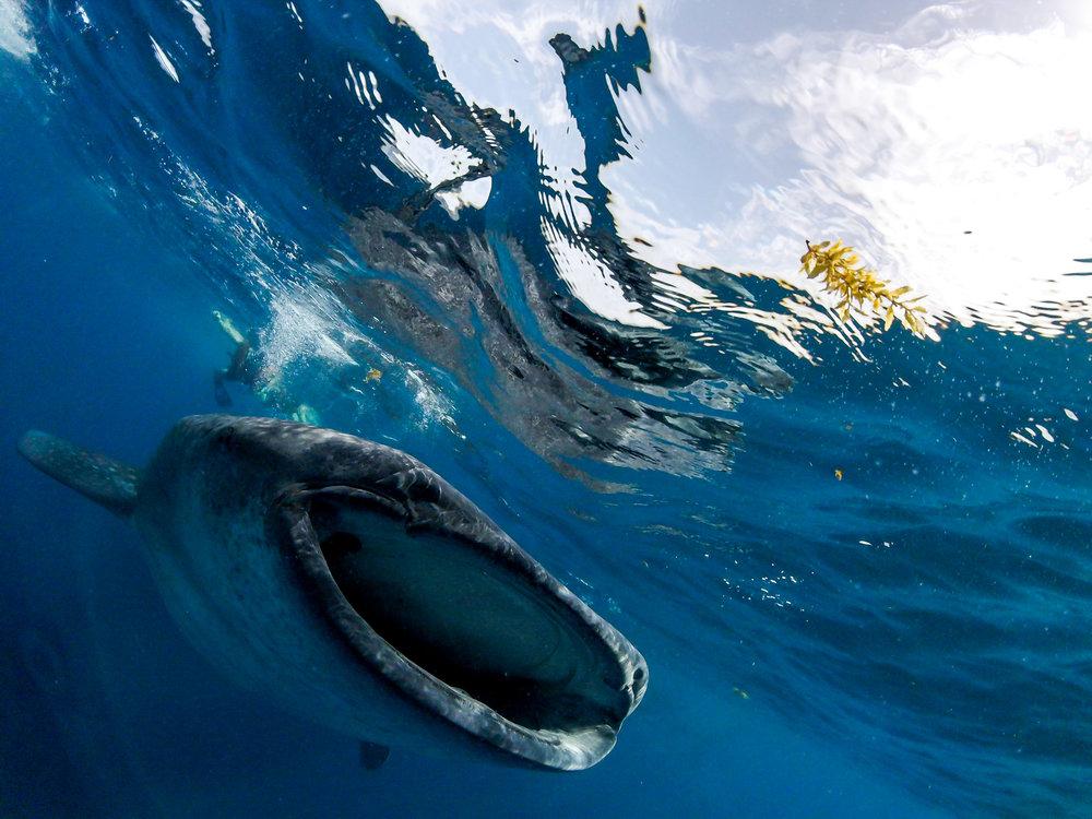 whale.shark7.jpg