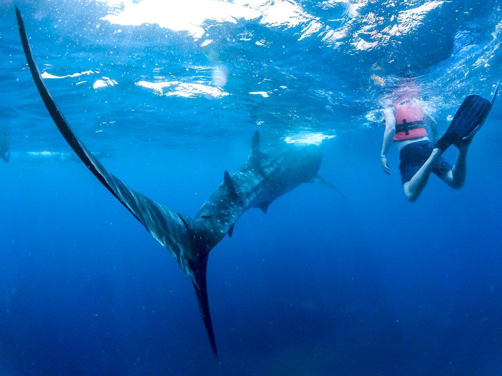 whale.shark1.jpg