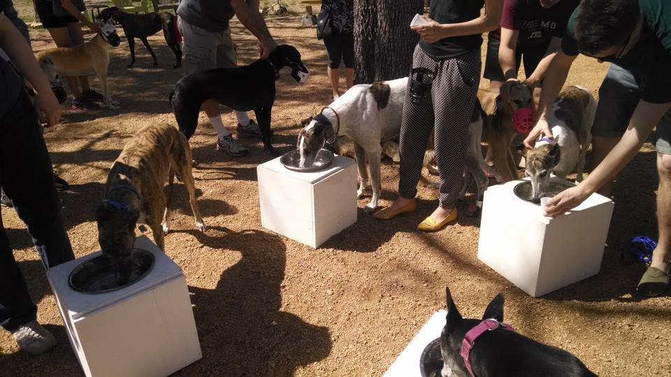 Greyhound meet up group bobbing for treats