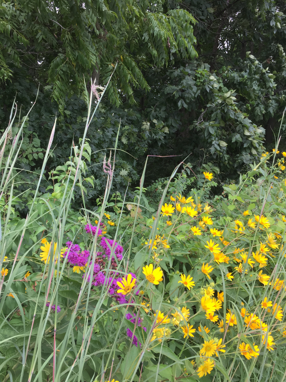 Big Bluestem, asters, and prairie sunflowers compete for sunlight (and admiration) along the shaded slope.
