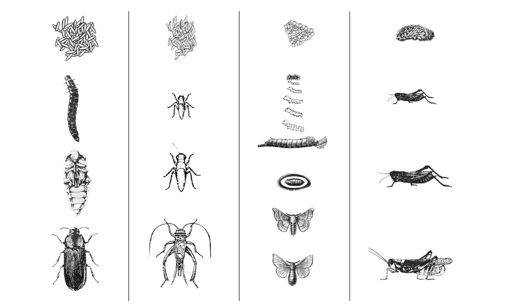 Choosing an insect with best qualities to breed.