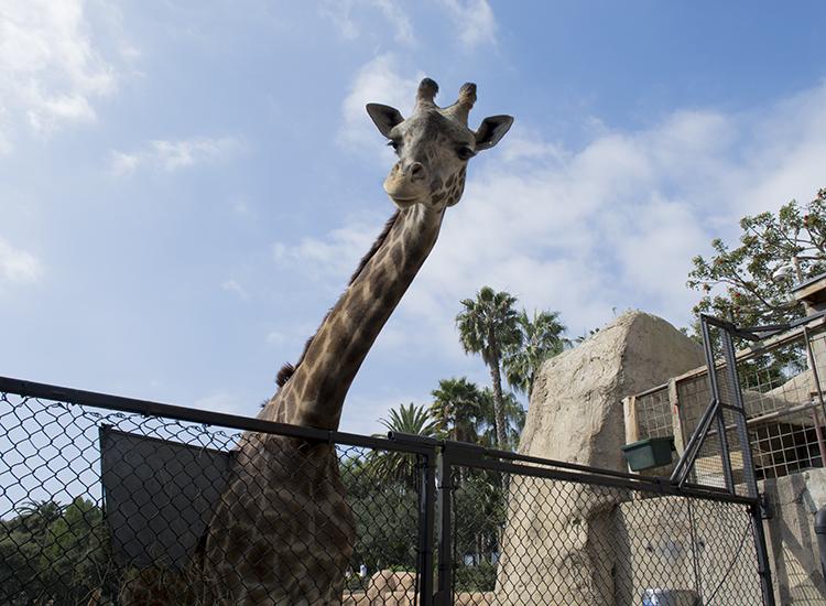 GiraffeCrop_1.jpg