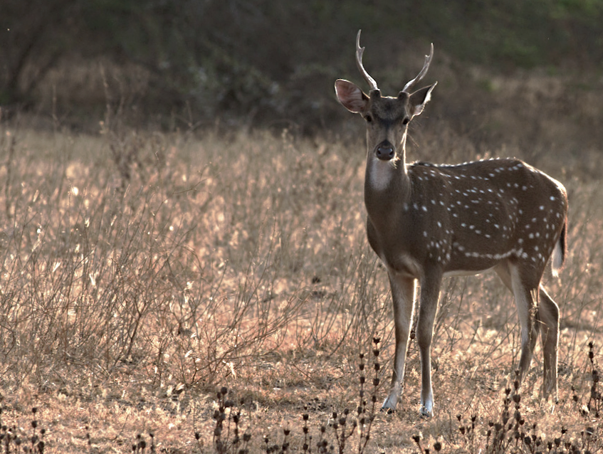 A young male axis deer in transit on the island of Lanai