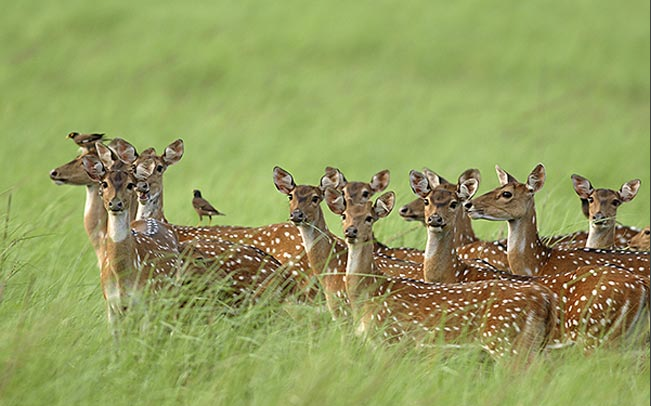 A herd of female axis deer on the island of Maui