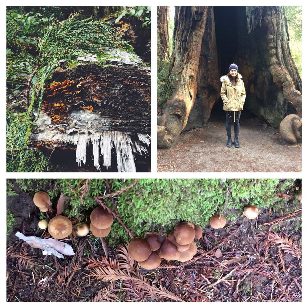 Morgan and I spent an afternoon hiking in big basin state park, it is redwood perfection!