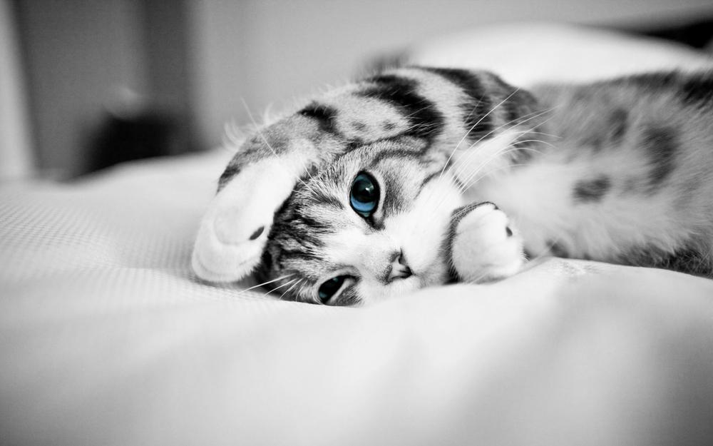 Cat-Blue-Eyes-High-Definition-Wallpaper.jpg