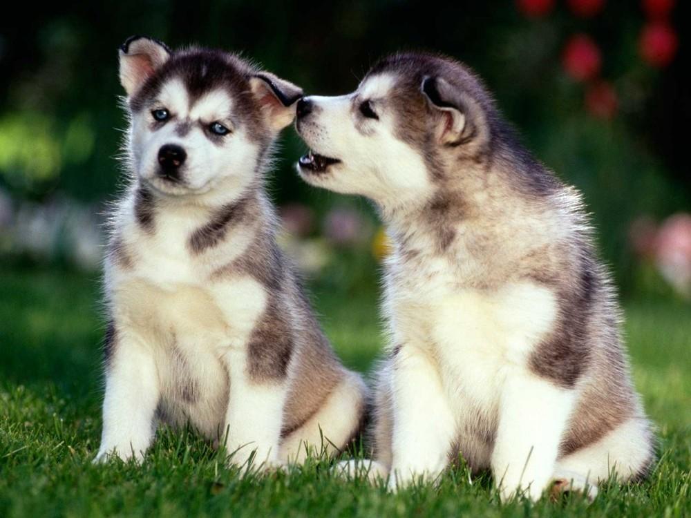 Husky-Puppy-Wallpaper-SDRrH.jpg